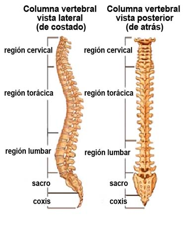 Columna vertebral. Fuente: Web www.spineuniverse.com